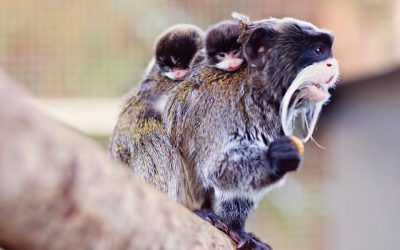 Births of twin Emperor Tamarins