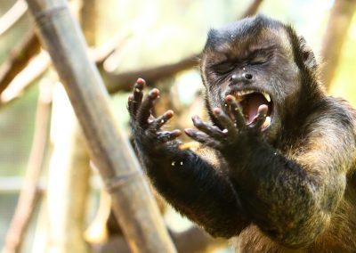 AE1R0939 2 (Capuchin)