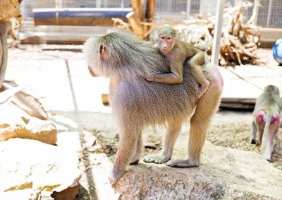 Hamadrayas Baboons