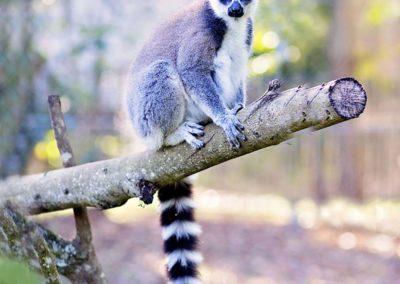 ringtailed-lemur1