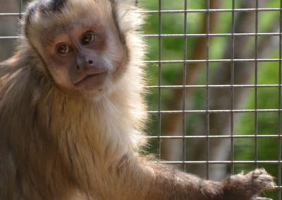 queensland_zoo_black_capped_capuchin
