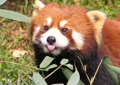 red-panda-default