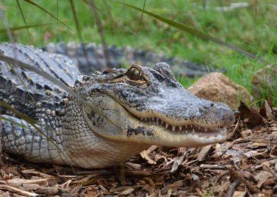 whq-zoo-croc1